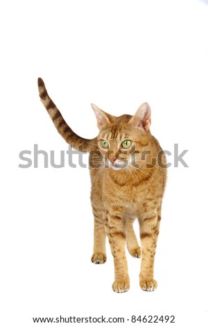Ocicat female on a white background. Studio shot.