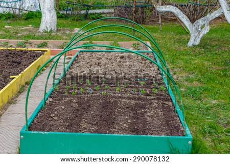 Ocimum basilicum (basil) growing in seedbed. Vegetable garden. Household plot. Dacha. - stock photo