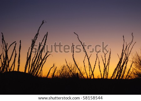 Ocotillo, Fouquieria splendens, At Sunset in Saguaro National Park, Arizona - stock photo