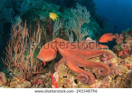 Octopus - stock photo