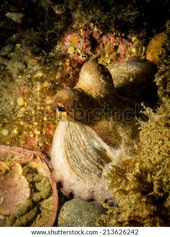 Octopus peaking - stock photo