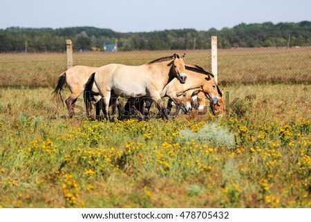 Odessa, Ukraine - June 10, 2016: herd of Przewalski horses at Askania Nova graze freely in the Ukrainian steppe. Przewalski's Horse of rare, endangered breed of horses in Red Book of Nature Protection