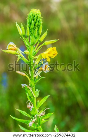 Oenothera is a genus of about 145 species of herbaceous flowering plants native to the Americas. It is the type genus of the family Onagraceae. - stock photo