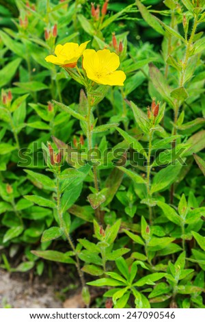 Oenothera macrocarpa (Missouri Evening Primrose, Ozark Sundrop) is a perennial flowering plant in the evening primrose family of the genus Oenothera. It is native to the United States. - stock photo