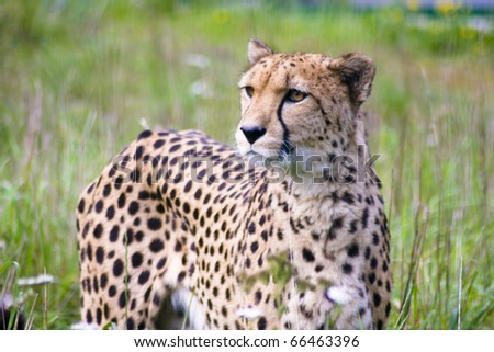 of the cheetah portrait - stock photo