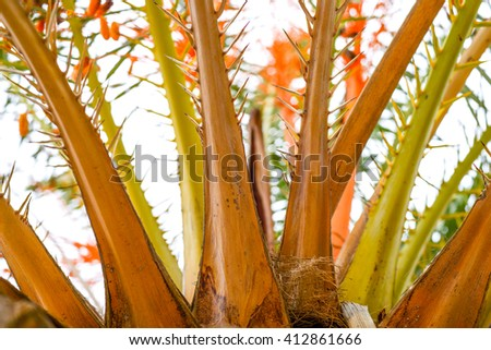 of the date palm, close-up, natural economy, the Arab Emirates. Dubai - stock photo