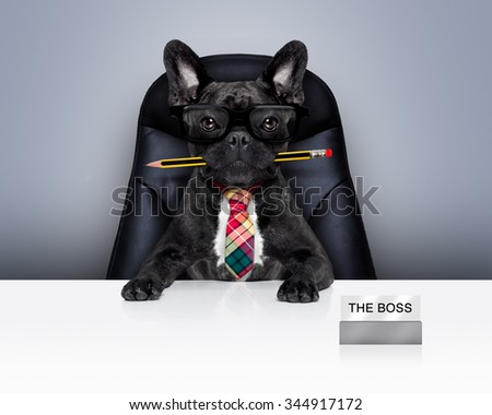office businessman french bulldog dog  as  boss and chef , with pen or pencil in mouth siting on leather chair and desk - stock photo