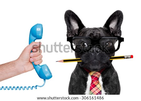 office businessman french bulldog dog with pen or pencil in mouth ,on the phone ,   isolated on white background - stock photo
