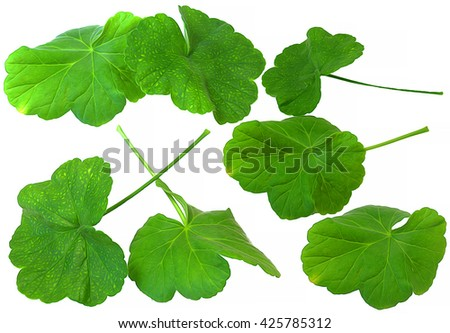 oil draw  leaf of geranium, paint fresh delicate leaves, isolated on scrapbook background  - stock photo