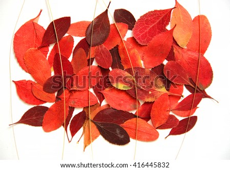 oil paint dry leaf of red barberry branch tree  draw object isolated leaves on white scrapbook background draw object, autumn leaf, thorny shrub that bears yellow flowers and red or blue-black berries