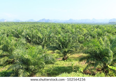Oil Palm Plantation - stock photo