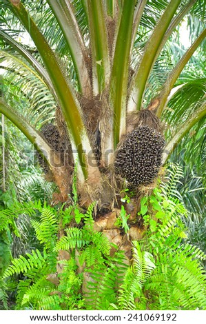 Oil palm tree and its bunch - stock photo