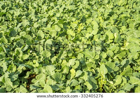 Oil radish, green manure - stock photo