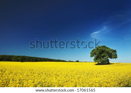 Oil seed rapeseed field in the summer sun