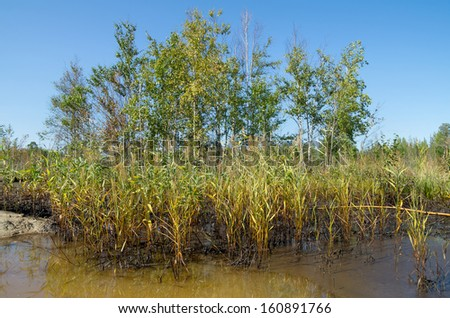 Oiled reeds after the oil spill - stock photo
