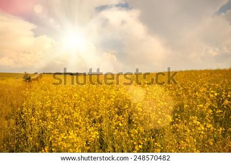 Oilseed field under cloudy sky sunny day - stock photo