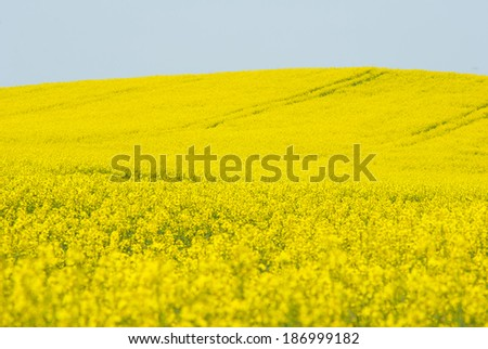 oilseed rape agricultural field  - stock photo