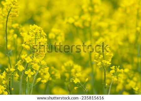 oilseed rape flowers - stock photo