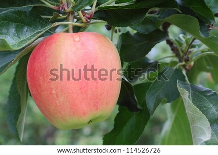 Okanagan Apple, Tree Branch. A ripe, crisp apple ready to be picked. Okanagan Valley, British Columbia. - stock photo