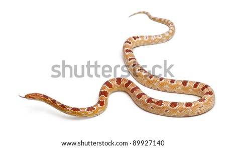 Okkeetee albinos reverse Corn Snake or Red Rat Snake, Pantherophis guttatus, in front of white background - stock photo