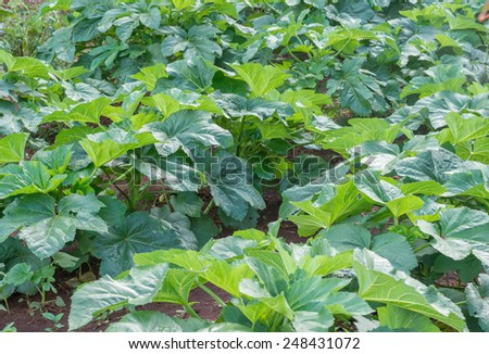 okra plantation at home - stock photo