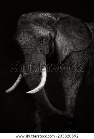 Old African elephant head - stock photo