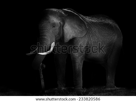 Old African elephant working - stock photo