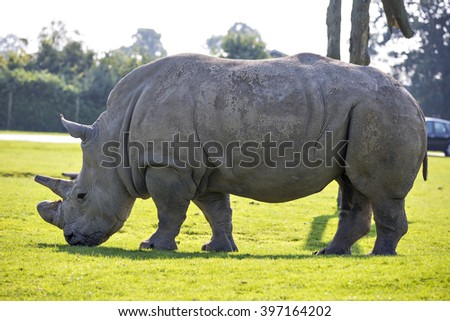 Old African White Rhino with grounded off horn eats grass at safari park in Scotland - stock photo