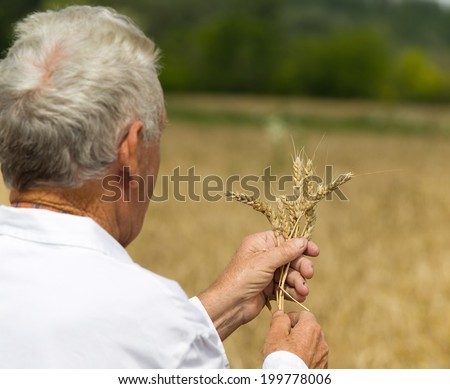 Old agronomist in white coat looking in wheat ears in field - stock photo