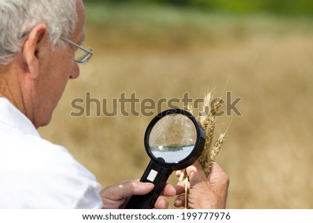 Old agronomist in white coat looking through magnifier in wheat ears in field - stock photo