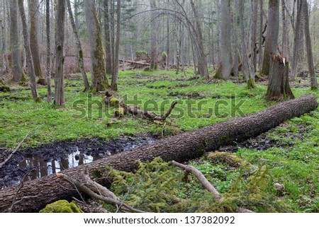 Old alder tree broken lying and old natural deciduous stand of Bialowieza Forest in background - stock photo