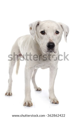 old american staffordshire terrier in front of white background