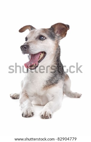 old and blind jack russel terrier in front of a white background