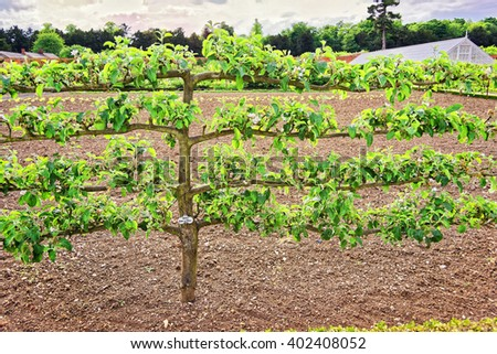 Old Apple Tree in Organic kitchen garden in  Audley End House in Essex in England. It is a medieval county house. Now it is under protection of the English Heritage. - stock photo