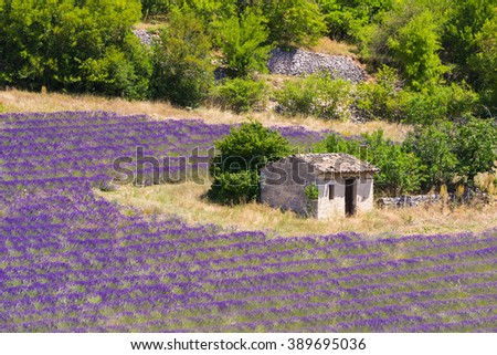 Old barn and rows of a beautiful purple lavender field ner town of Sault. Provence, France - stock photo