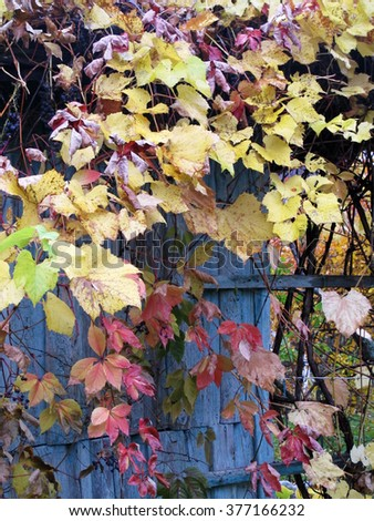 "Old barn twined with autumn hybrid Vitis ""Izabella"" (Vitis labrusca x Vitis vinifera) - stock photo"