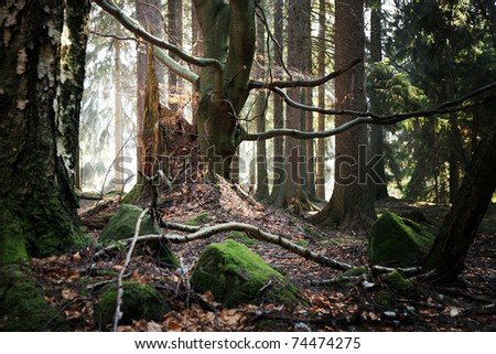 Old beech and the stump of felled trees. Forest near a small village Pasterka in Poland, Table ( Stolowe ) Mountains. - stock photo