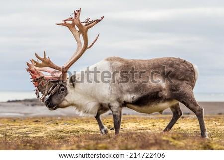 Old, big Arctic reindeer preparing to shed his antlers.  - stock photo