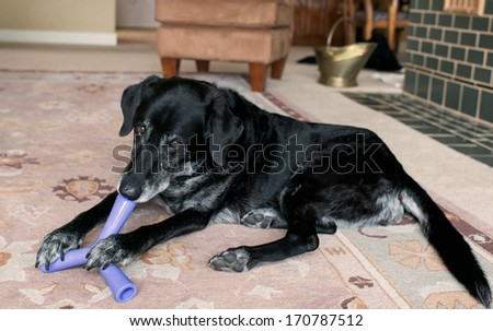 Old Black Dog with Gray Muzzle Relaxing at Home Playing with Treat Toy - stock photo