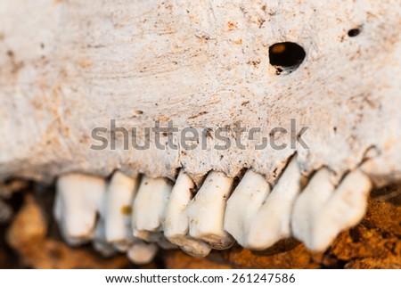 Old bones, teeth - stock photo