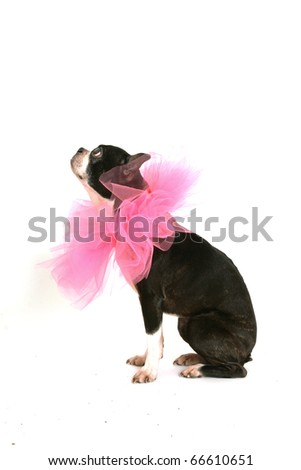Old boston terrier with a pink ruffle around the neck on white background - stock photo