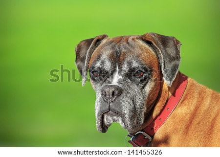 old boxer breed - portrait over green defocused background - stock photo