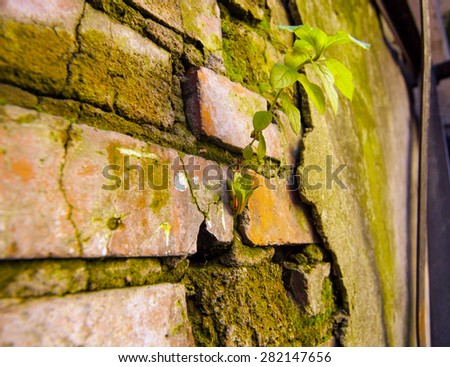 Old brick wall with green sprouts - stock photo