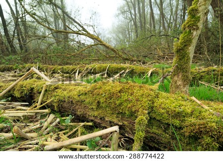 Old, broken and overgrown trees lying in a wet, foggy forest. - stock photo