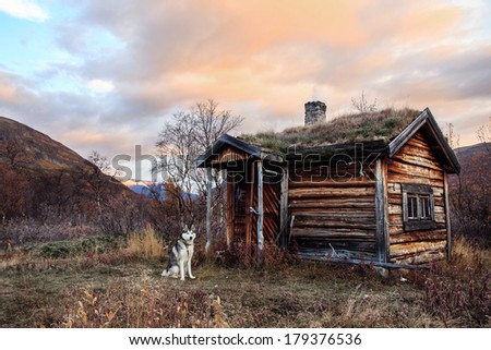 old cabin in with siberian Husky in Autumn - stock photo