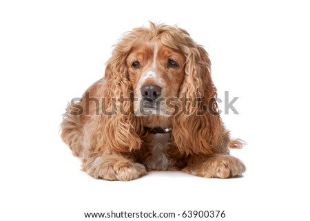 old Cocker Spaniel isolated on a white background