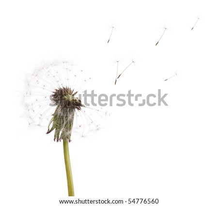 old dandelion and flying seeds isolated on white background - stock photo