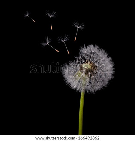 old dandelion and flying seeds on black background