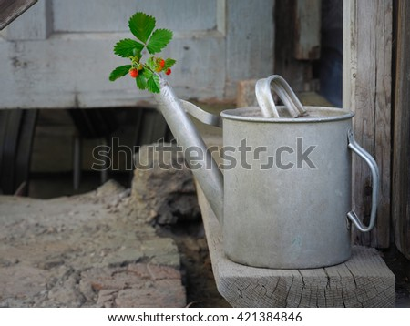 Old, dirty, metal watering can in the old walls, and the dry land. From watering growing strawberries - green leaves, red berries