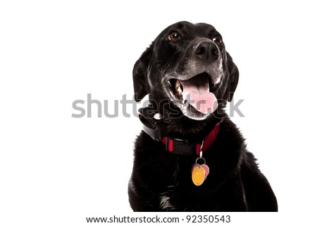 Old Dog Lab Mix - stock photo